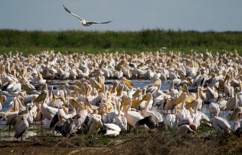Pelicans at Lake Manyara National Park Tanzania