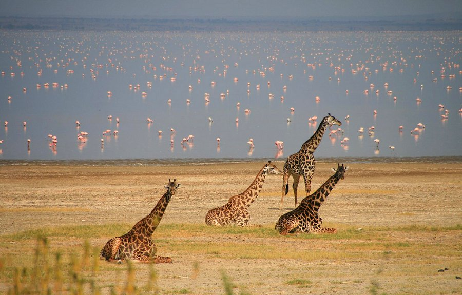 Viewing flamingos and giraffes during a game drive at Lake Manyara