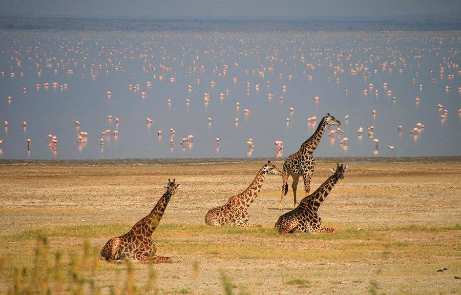 Viewing flamingos and giraffes during a game drive at Lake Manyara