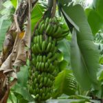 Bananas from local supplier Mto wa Mbu village